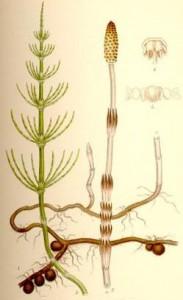 Фото Хвоща травы брикет